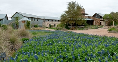 Lady Bird Johnson Wildflower