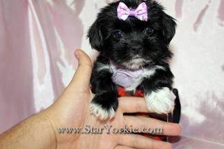 Star Yorkie Kennel - Teacup Yorkies Maltese & Pomeranian Puppies