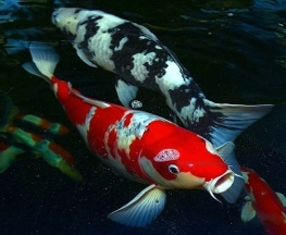 Kodama koi farm in saddle river nj 07458 citysearch for Koi fish farm near me