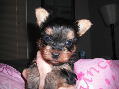 Heavenly Yorkies Pet Boutique - North Webster, IN